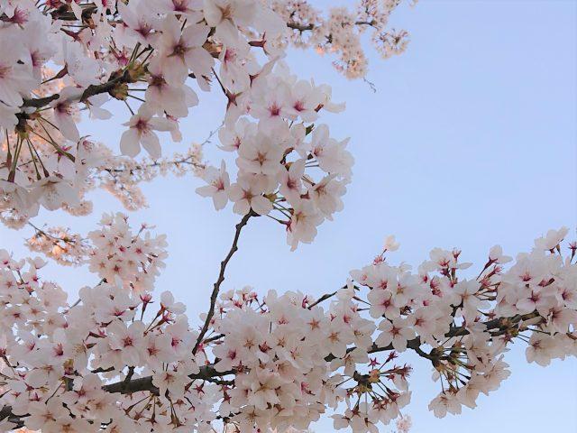 鶴岡公園桜2021